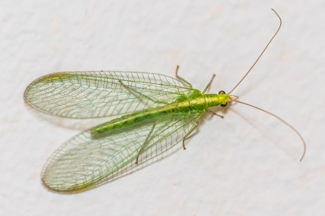 Grön vägg-räka