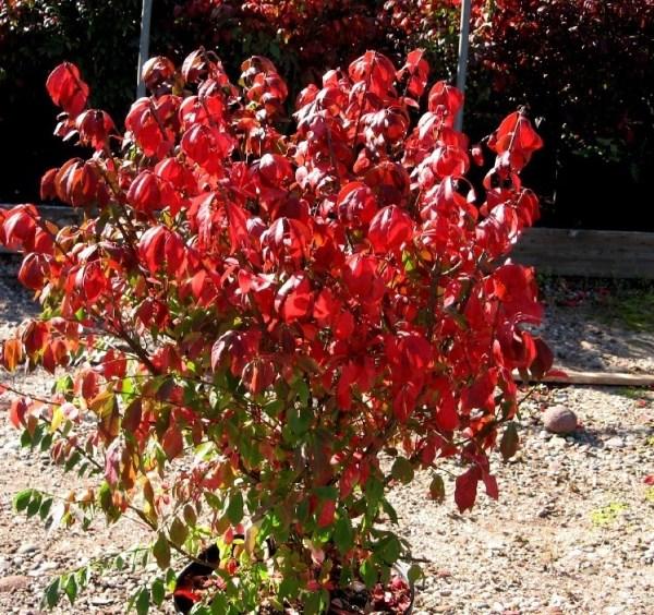 burning bush # 45