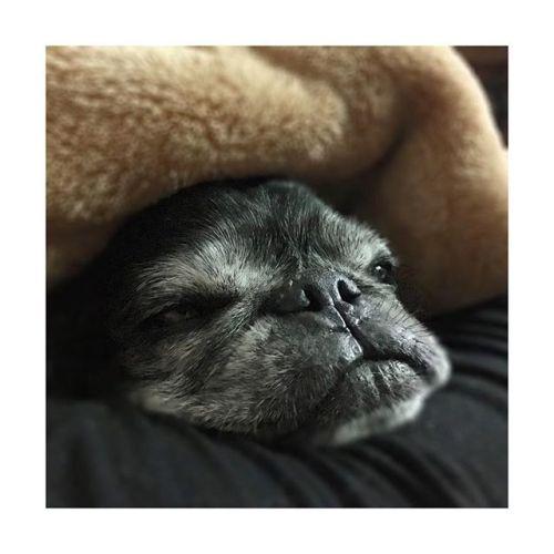 【ねむねむ〜】---------#おやすみ 〜♡ねぇちゃんはこれから#体幹リセット #ダイエット やります今日からは2日に1回ペース。---------#明日も仕事 #頑張ろー#癒し #パグ #黒パグ #鼻ぺちゃ#老犬 #dog #pug#かわいい #だいすき #青葉台マッサージ #田園都市線 #青葉台#駅近サロン#リラクゼーションサロン #gumi#タイ古式マッサージ#タイ式リフレクソロジー #リラックス #リフレッシュ#こだわり #空間 #interior#simple #design