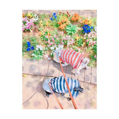 【 のんびり休日 ︎ 】    暖かくて過ごしやすいね〜---------#休日 #散歩 #のんびり #パグ #黒パグ #フォーン#pug #dog #spring #flower#田園都市線 #青葉台 #駅近#リラクゼーションサロン #gumi#11周年 #タイ古式マッサージ #タイ式リフレ#タイ #好き #今すぐ行きたい #こだわり #interior #simple#self #design