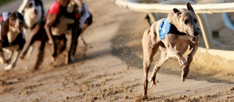 greyhound- walkley racing