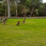 Kängurus auf der Wiese in Yanchep