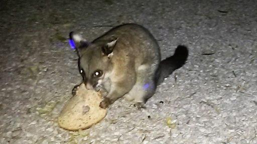 Adelaide Possum