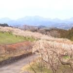 箕郷梅林 善地会場で見られる絶景の梅林と河津桜!【群馬】おすすめスポット