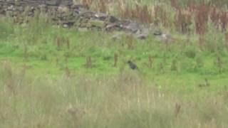 Luckiest Crow Ever! Epic 400 yard 243 miss footage! Tikka T3 Lite .243 Win