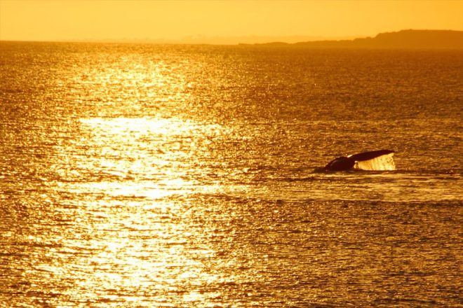 Whales in Punta del Este by Remco Douma. whale watching south america.
