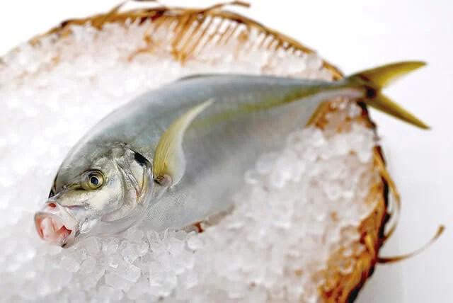 高級魚の縞鯵(シマアジ)は釣りの世界でも人気の魚!?