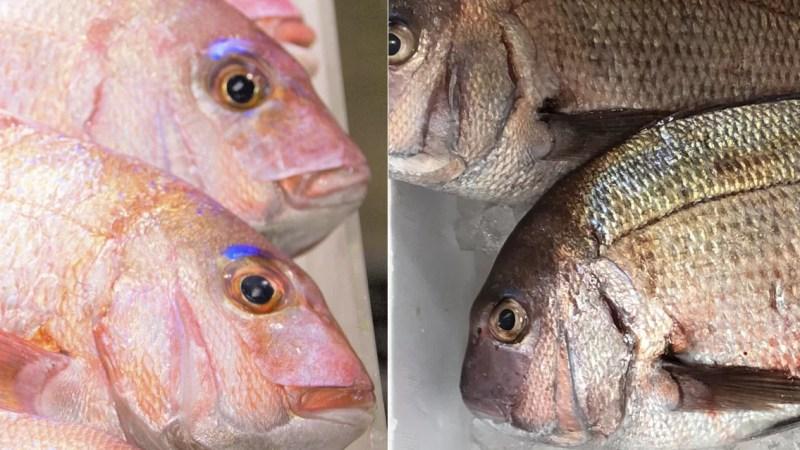 桜鯛と真鯛の違いは何?特徴や調理法は?