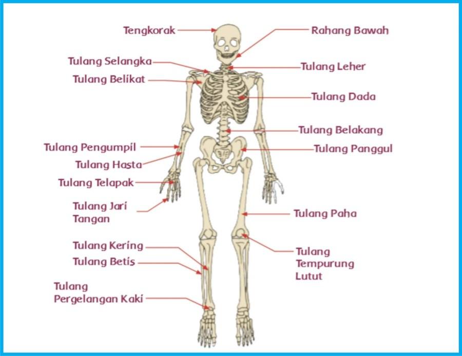 Apa fungsi tulang hasta ?  fungsi tulang hasta antara lain:  ·         Sebagai penunjang kerangka tangan manusia  ·         Membantu pergelangan tangan untuk memutar  ·         Membentuk tulang lengan bawah  ·         Menunjang lengan bawah untuk mampu bergerak  ·         Menyimpan mineral dan mneghasilkan sel – sel darah pada sum sum tulang  ·         Bekerja sama dengan tulang pengumpil untuk menyusun lengan bawah pada tangan manusia  ·         Mendukung lengan bawah untuk pergerakan  ·         Melekatnya otot-otot lengan  ·         Sebagai penarikan otot  ·         Fleksibelitas sendi siku  Apa Fungsi tulang atas?  Fungsi tulang atas yaitu :  ·         Sebagai tempat menempel otot utama  ·         Otot khusus rotator cuff melekati bagian atas humerus dan dapat melakukan rotasi serta abduksi pada bahu.  ·         Melekatnya otot menggerakan bahu dan siku  ·         Penopang kekuatan lengan  ·         Untuk menulis menggunakan jari yang dapat di control tulang atas  ·         Penghubung sendi putar  ·         Kontrol menekuk tangan  ·         Menjadi peran dalam menjauhkan lengan dari tubuh  Apa fungsi tulang pengumpil ?  Fungsi tulang pengumpil adalah :  ·         Tempat menempelnya otot lengan  ·         Sejajar dengan tulang hasta  ·         Penguat lengan bawah  ·         Mengatur pergerakan tangan bagian bawah  ·         Berperan menggerakkan jari  ·         Pengontrol pergerakkan siku  ·         Penghubung jari dengan tulang lengan atas  ·         Penyususun lengan bagian bawah  ·         Terletak sum sum tulang  ·         Sebagai tumpuan penguat lengan  Apa fungsi tulang pergelangan tangan ?  Fungsi Tulang pergelangan tangan yaitu :  ·         Sebagai penyusun kerangka tangan dan eksremitas atas manusia.  ·         Sebagai tempat pertemuan antara tulang lengan bawah dan tangan  ·         Sebagai tempat menempelnya otot otot gerak yang ada pada jari jari dan pergelangan tangan.  ·         Terdapat beberapa sendi sehingga telapak tangan beserta jari jemari bis