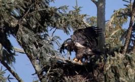 bald_eagle-5768