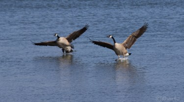 geese-2253