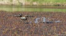 Ring-necked Duck in flight.