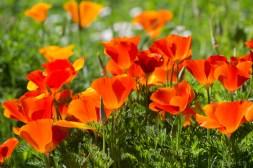 poppies-1203
