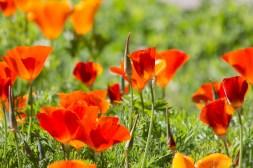 poppies-1204