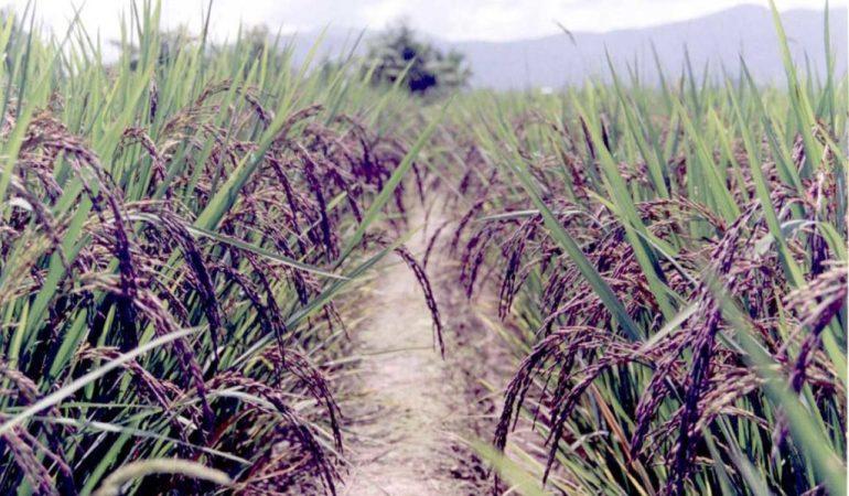 tanaman padi beras hitam