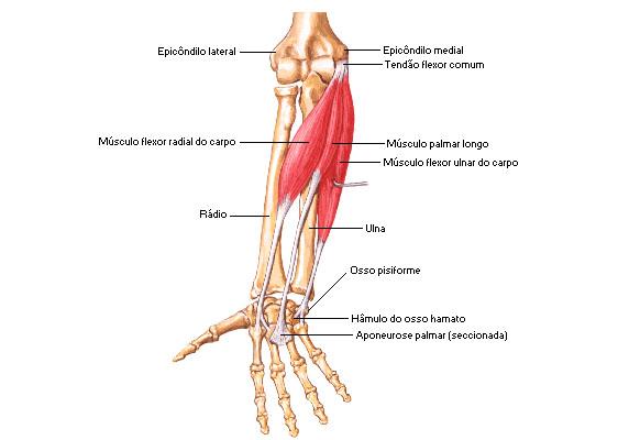 Visão anterior do cotovelo - tendões flexores