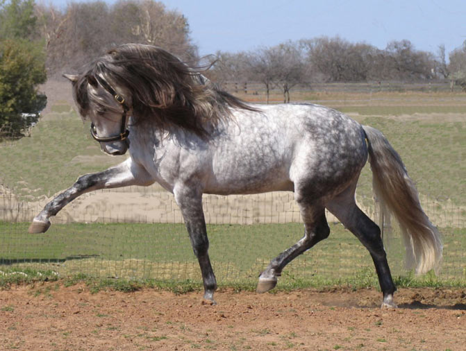 Andalusian horse grey color - One of the most popular