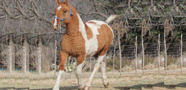 Caballos Bashkir Curly o caballo rizado