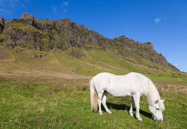 razas-caballo islandés