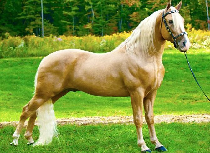Tennesse Walking Horse