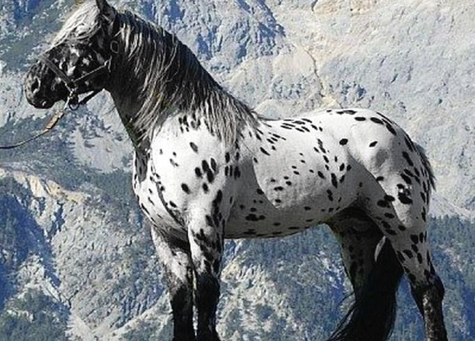 Photograph or a Noriker horse breed