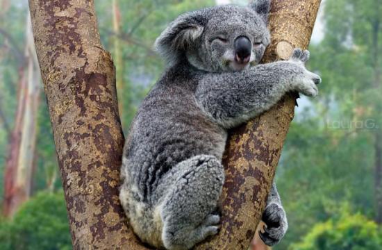 Mujer salva a un koala de un incendio