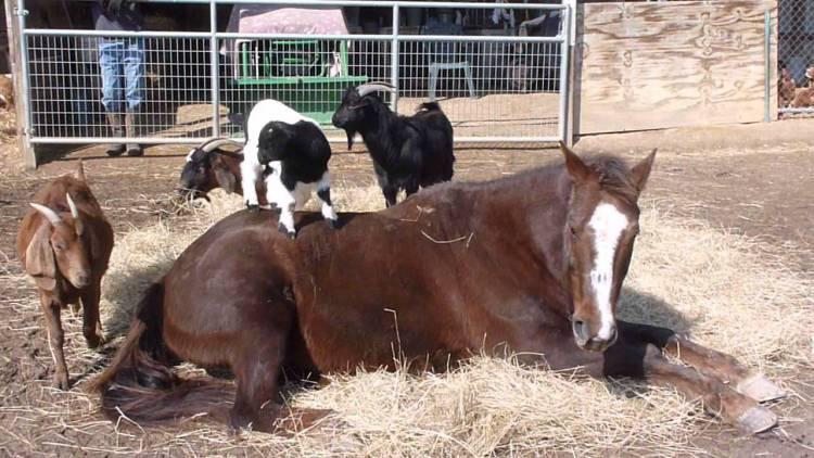 Goats and an upset horse