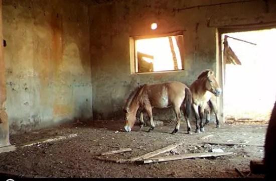 Przewalski horse breed: Chernobyl horse