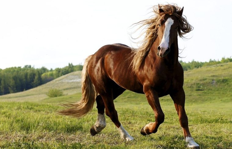 The character and de temperament of the horse