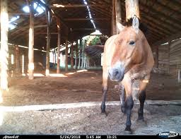 La Raza de caballos Przewalski: El caballo de Chernobyl.
