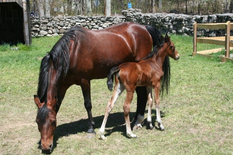 The foal with its mother