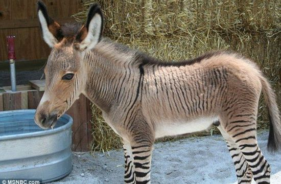 Zonkey: a Zebra-Donkey Hybrid Animal