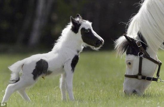 Einstein miniature horse