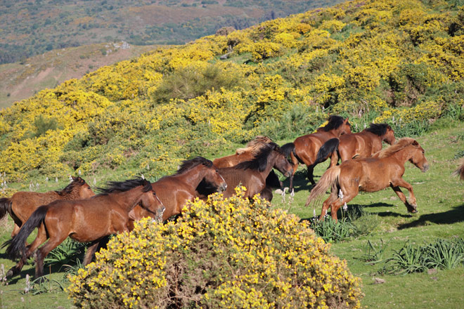 The Galician Wild Horse and its contribution to the ecosystem