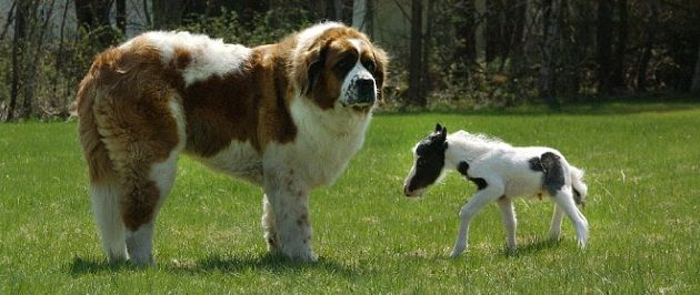 The dog and the horse miniature einstein