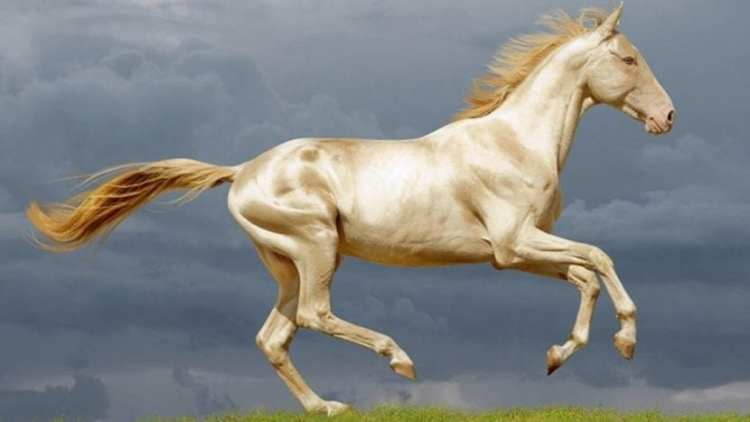 Akhal-teke: a descendant of Turkoman horse breed