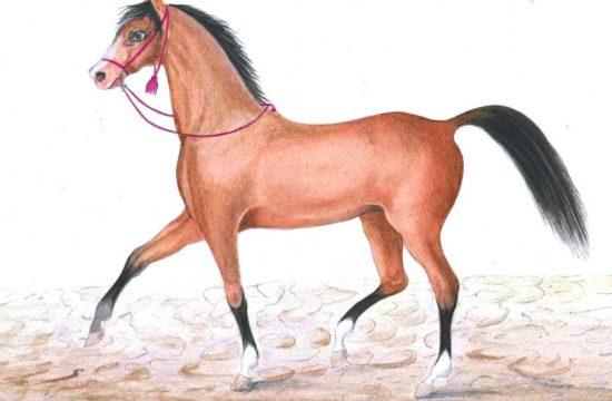The Turkoman horse breed