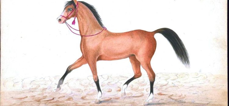The Turkoman horse breed
