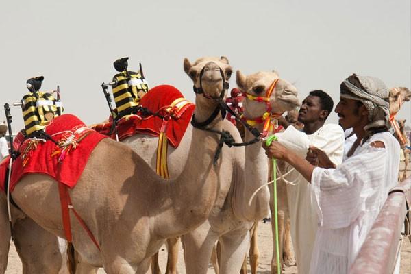 Camel Racing and robotics jockeys