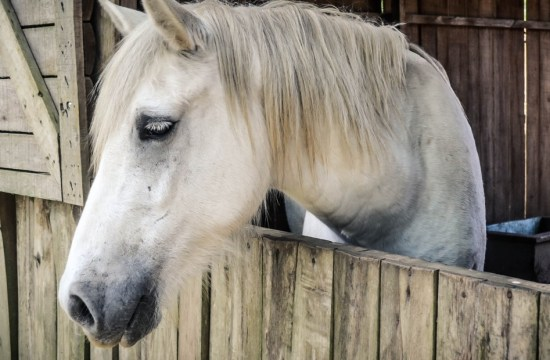 Horses communicate with their ears
