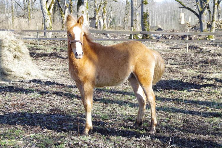 Estonian native horse