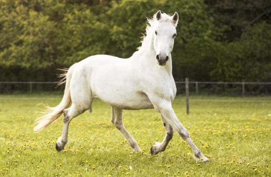 Lipizzan horse breed