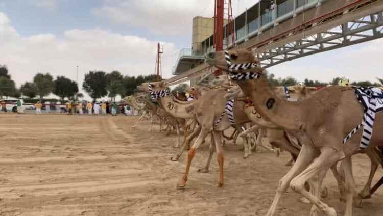 La partida en las carreras de camellos