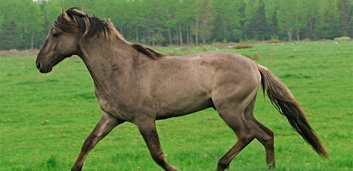 Sorraia Horse Breed Picture