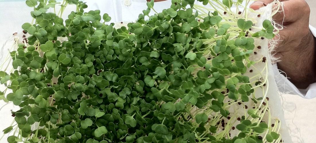 Ahora en México Kit para sembrar tus propios #Microgreens aquí la demostración en video