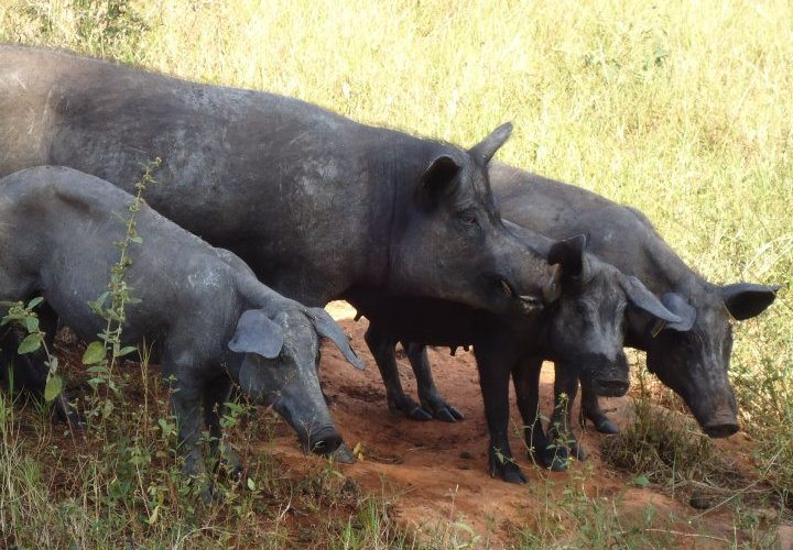 Cerdo Pelón Yucatateco