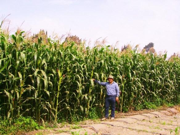 Cultivo maíz (Cortesía: elgriton.com.mx)
