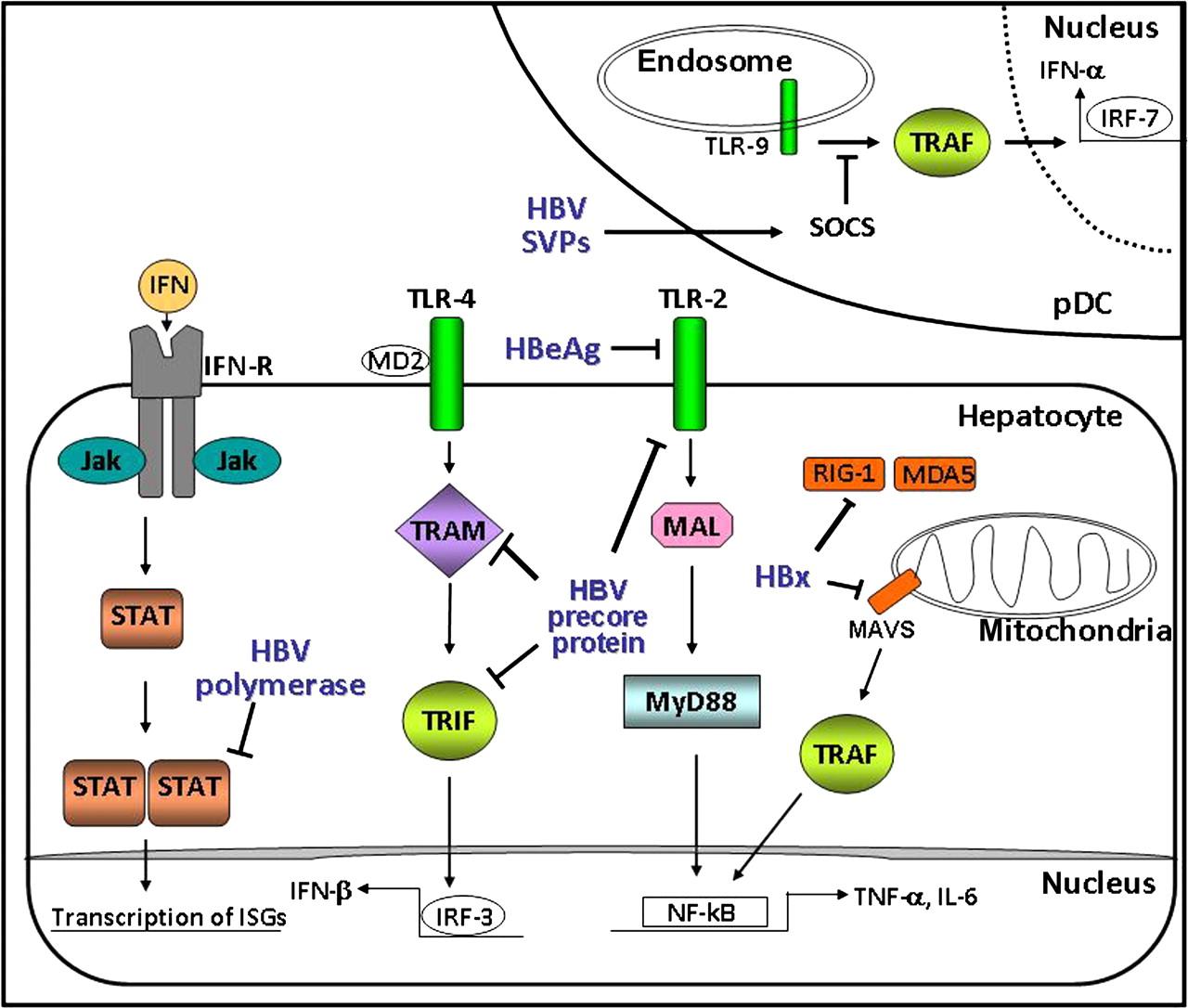 New Insight In The Pathobiology Of Hepatitis B Virus