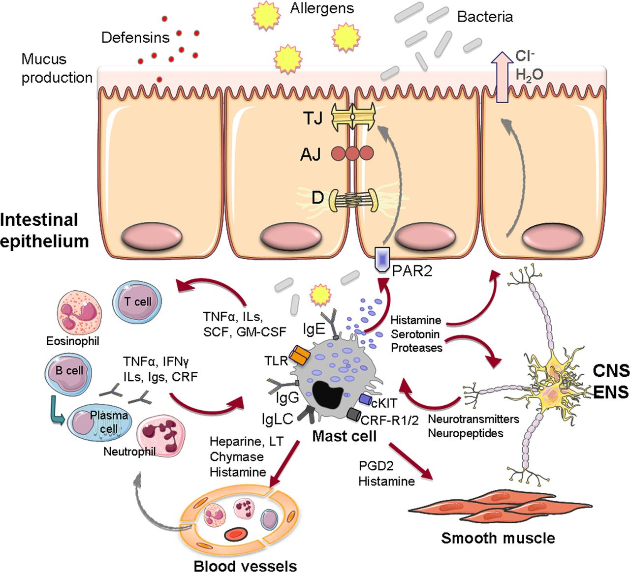 The Role Of Mast Cells In Functional GI Disorders Gut
