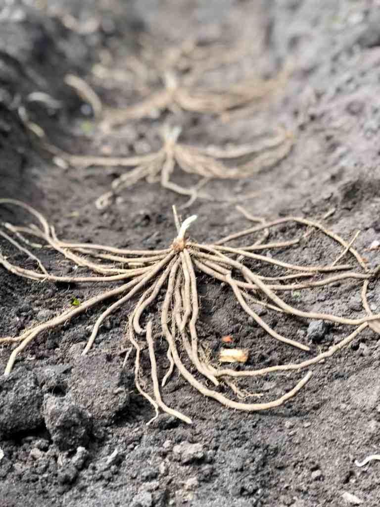 Spargelwurzel beim Einpflanzen.
